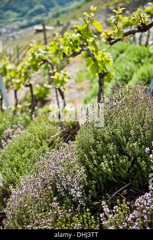 Flowers and wine fields in the background, Wine Region, Valais, Switzerland - Stock Photo