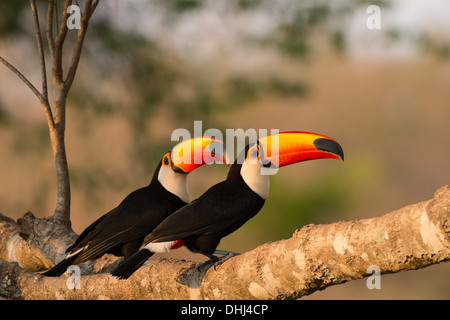 Stock photo of a pair of toco toucans sitting together on a branch, Pantanal, Brazil. - Stock Photo