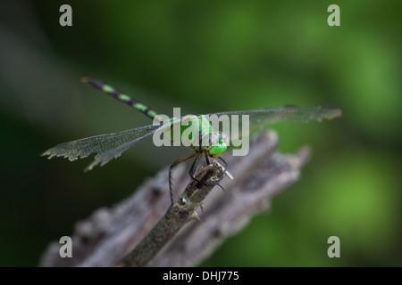 Green dragonfly in Cienaga las Macanas, Herrera province, Republic of Panama.