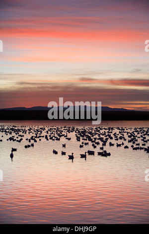 Snow geese (Chen caerulescens) in pond and mountains, Bosque del Apache National Wildlife Refuge, New Mexico USA - Stock Photo