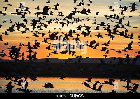 Snow geese (Chen caerulescens) in flight over pond, Bosque del Apache National Wildlife Refuge, New Mexico USA - Stock Photo