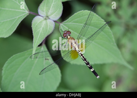 Dragonfly in Cienaga las Macanas Nature Reserve, Herrera province, Republic of Panama.