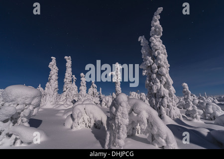 snow covered spruces in moonlight, Sweden - Stock Photo