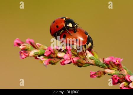 Ladybug mating on flowers - Stock Photo