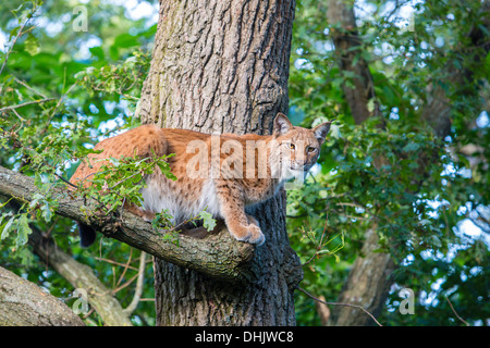 Lynx on a tree, Skalen zoo, Stockholm, Sweden, Europe - Stock Photo