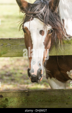a brown and white colored horse looking over a fence - Stock Photo