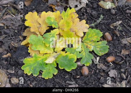 English oak (Quercus robur) leaves on woodland floor - Stock Photo