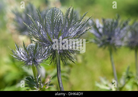 Alpine sea holly (Eryngium alpinum) - Stock Photo