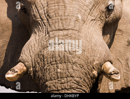 Close portrait of an african elephant (Loxodonta africana), Savuti - Stock Photo