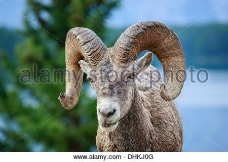 Bighorn sheep ram (Ovis canadensis), Lake Minnewanka, Banff National Park, Alberta, Canada - Stock Photo