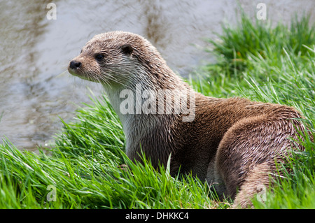 European Otter by the riverbank, UK (lutra lutra) Springtime - Stock Photo