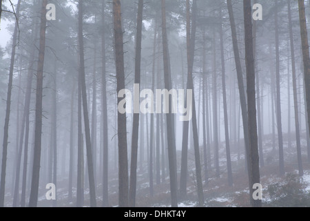 Pine trees in winter shrouded in fog with a light dusting of snow on the ground, Cannock - Stock Photo