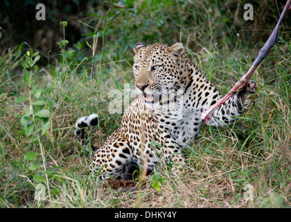 New young male leopard in the Sabi Sands territory. Eats impala whilst snarling. - Stock Photo