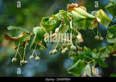 Large-leaved lime seeds UK - Stock Photo