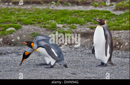 King Penguins (aptenodytes patagonicus), St Andrews Bay, South Georgia - Stock Photo