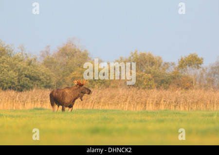 Powerful Eurasian Elk bull (Alces alces) standing in floodplain. Europe, Estonia - Stock Photo
