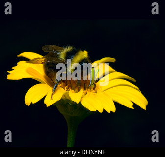 bumblebee in a yellow flower - Stock Photo