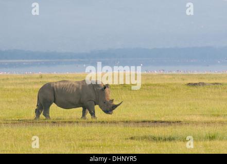 rhino in lake nakuru national park, kenya - Stock Photo