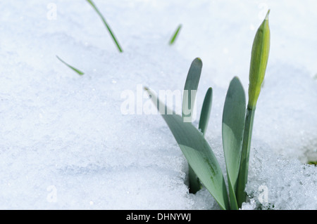 first signs of spring-the daffodil - Stock Photo