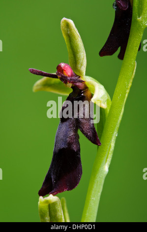 A close-up on an individual flower of fly orchid (Ophrys insectifera) blooming in Denge Wood, Kent. June. - Stock Photo