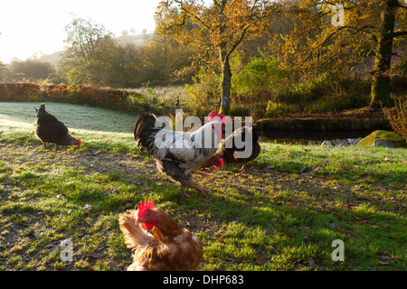 Free range chickens hens rooster in yard pecking at grain on an autumn morning with view of the countryside iin - Stock Photo