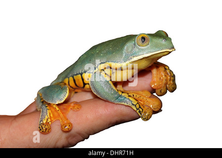 Splendid Leaf Frog Cruziohyla calcarifer In The Hand Stock Photo