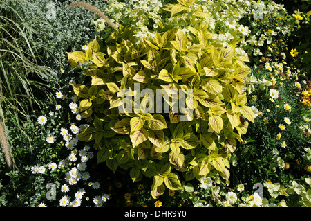 Painted coleus - Stock Photo