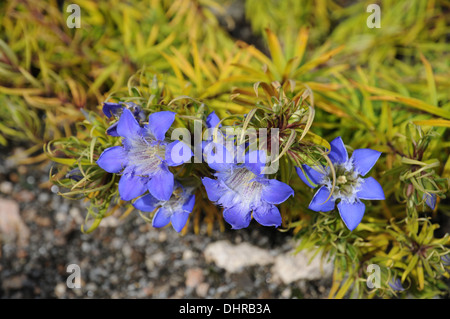 Paradox gentian - Stock Photo