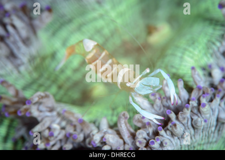 an magnificent anemone commensal shrimp in a very colorful anomone. seen in the lembeh strait, north sulawesi Indonesia - Stock Photo