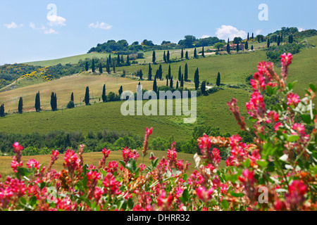 A winding road going amid green hills with flowers in the front, Tuscany, Province of Siena, Italy, Europe. - Stock Photo