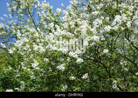Exochorda - Stock Photo