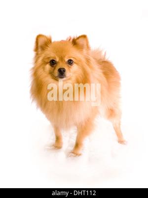 Pomerainian dog standing isolated on white background - Stock Photo