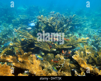 Underwater coral reef with school of tropical fish, Caribbean sea, Bay islands, Honduras - Stock Photo