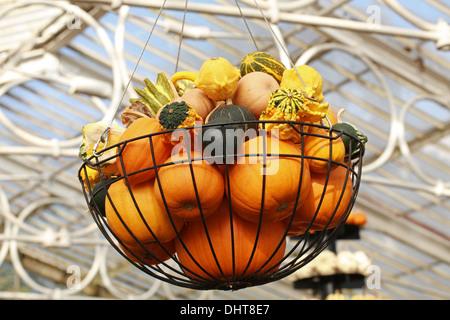 A Collection of Pumpkins and Squashes in a Hanging Basket, Cucurbita pepo, Cucurbitaceae. Aka Summer Squash, Winter - Stock Photo