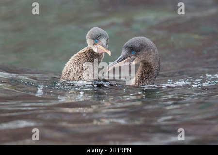 Flightless Cormorants (Phalacrocorax harrisi) in their swimming courtship - Isabela Island, Galapagos Islands - Stock Photo