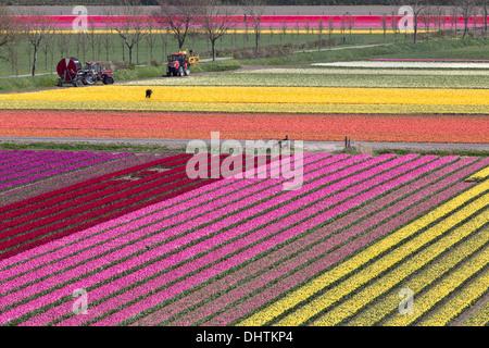 Netherlands, Krabbendam, Farmer at work. Aerial view of tulip fields. - Stock Photo