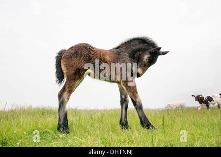 Netherlands, Noordbeemster, Beemster Polder, UNESCO World Heritage Site. Belgian or Zeeland draft horse. Foal - Stock Photo