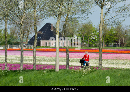 Netherlands, Noordbeemster, Beemster polder. Flowering tulip fields in front of typical farm called Stolpboerderij. - Stock Photo
