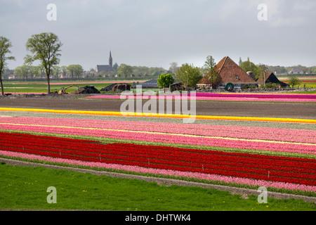 Netherlands, Noordbeemster, Beemster polder. Flowering tulip fields in front of typical farm called Stolpboerderij - Stock Photo