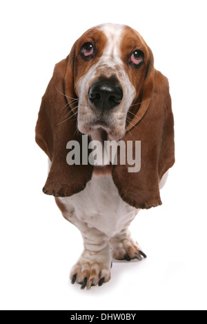 Basset hound Single adult standing in a studio - Stock Photo