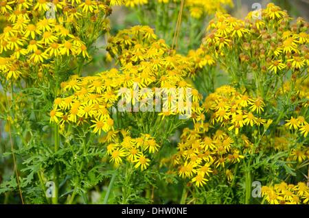 Yellow flowers of Jacobaea vulgaris, ragwort or benweed - Stock Photo