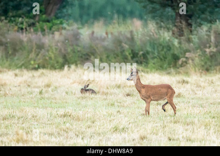 Netherlands, 's-Graveland, Deer or roe and hare - Stock Photo