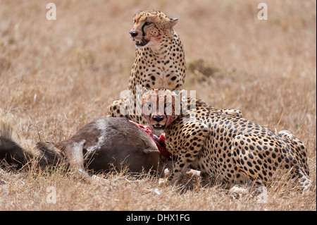 Two male Cheetah ,in this case brothers quickly feed on the young Wildebeast that they have just managed to hunt - Stock Photo