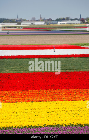 Netherlands, Lisse, Tulip fields. High angle view from Keukenhof gardens. Farmer at work - Stock Photo