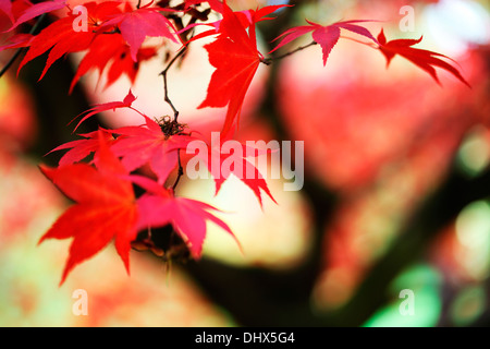 beautiful red acer tree Jane Ann Butler Photography  JABP970 - Stock Photo