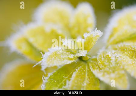 icy choisya leaves in winter Jane Ann Butler Photography  JABP977 - Stock Photo