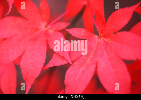 red autumn maples Jane Ann Butler Photography  JABP975 - Stock Photo