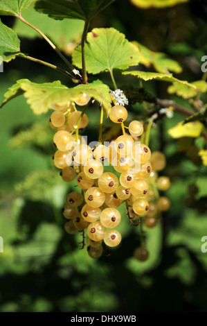White currant - Stock Photo