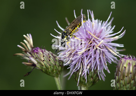 Common Sawfly, Tenthredo notha - Stock Photo