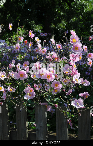 Japanese anemone - Stock Photo